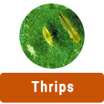 Learn More About Thrips