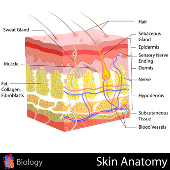 skin-anatomy-showing-skincare-absorption-penetration-skin.jpg