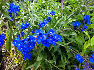 Blue Blooming Plants