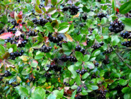 ChokeBerry Shrubs