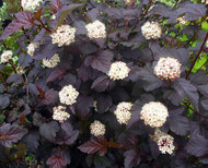 Nine Bark Shrub