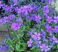 Go Wild With Wild Blue Phlox