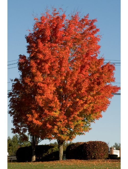 Sugar Maple Tree For Sale Get 2 Trees For 1799