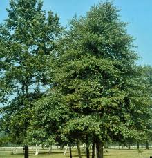 blackgum-green.jpg