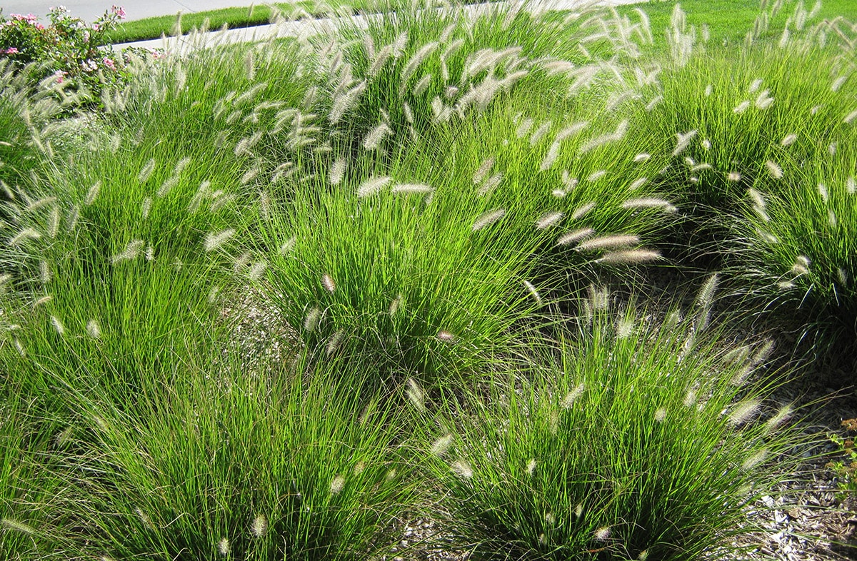 Native grasses in landscaping
