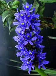 pickerelweed2.jpg