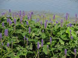 pickerelweed3.jpg