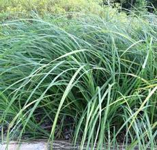 creek sedge