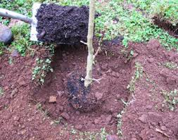planting soil beside roots