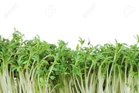 Image result for Watercress Sprouts