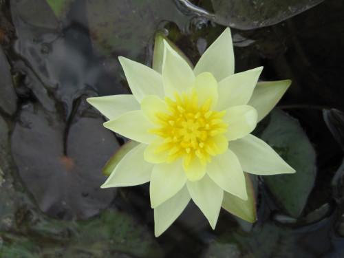 Nymphaea Pygmaea helvola  - Pygmy Yellow Water Lily