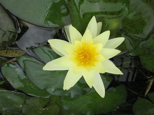 Nymphaea Moorei Yellow Water Lily