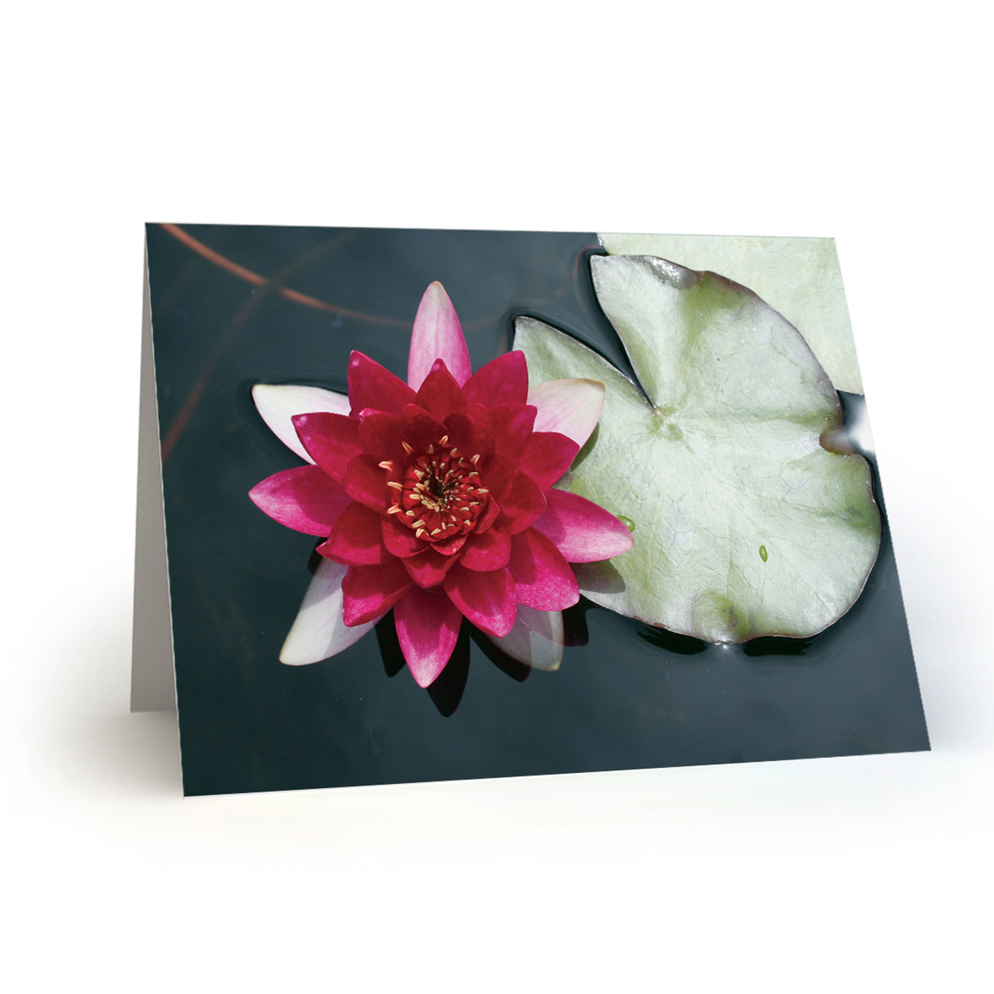 Pink water lily with lily pad cc100 givewrite pink water lily with lily pad cc100 izmirmasajfo
