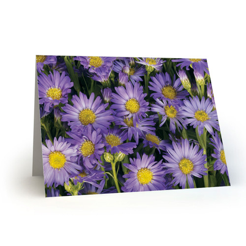 Purple Daisies - MT100