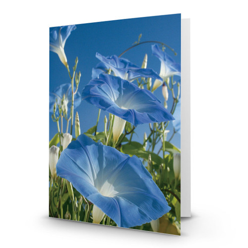 Blue Morning Glory Blooms and Blue Sky - CC100