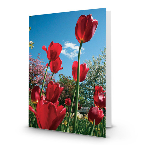 Red Tulips in Garden from Below - CC100