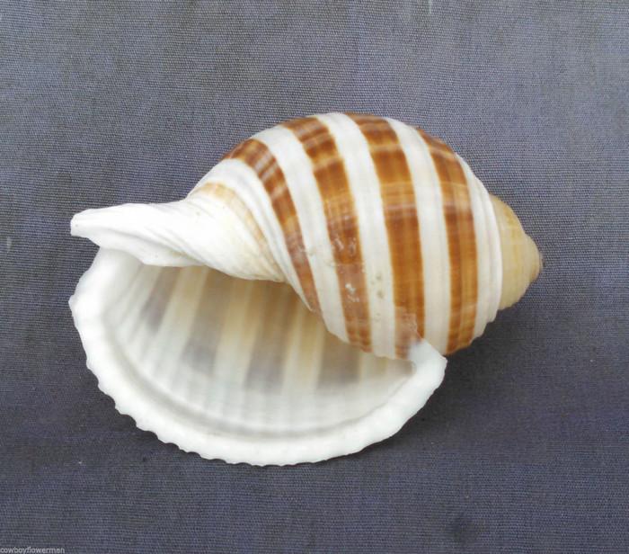Tonna Sulcosa