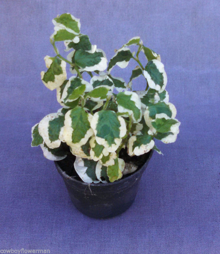 Ficus repens Variegated