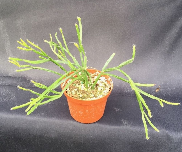 Rhipsalis cereoides