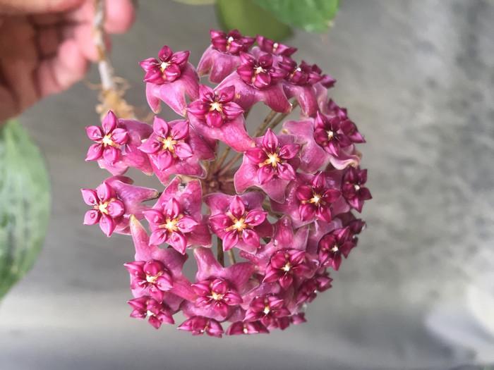 Hoya cinnamomifolia var. purpureofusca