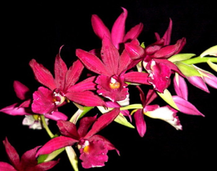 Phaiocalanthe Kryptonite 'Chariots of Fire' HCC/AOS