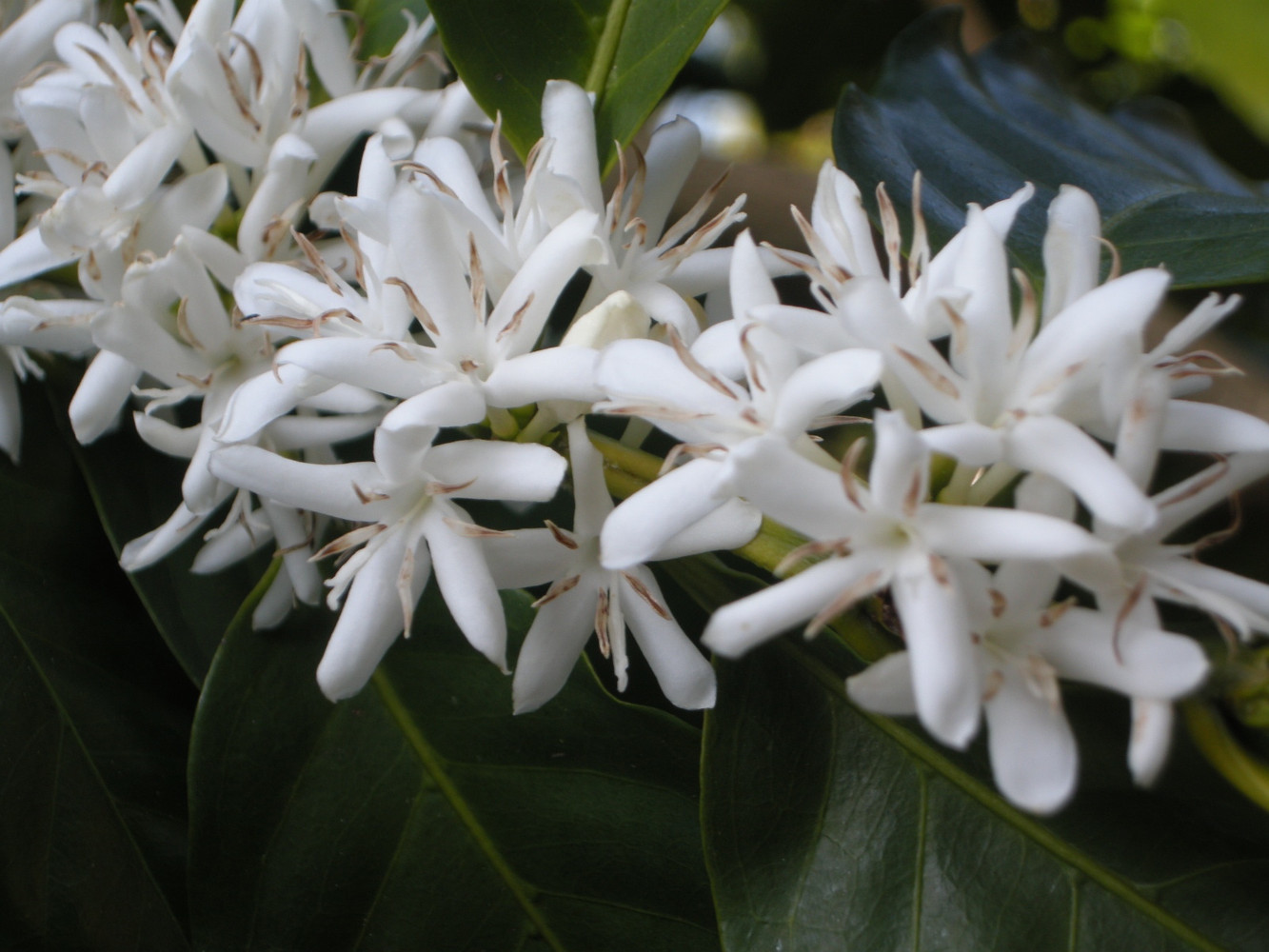 Kona Snow - A magical experience when coffee is flowering