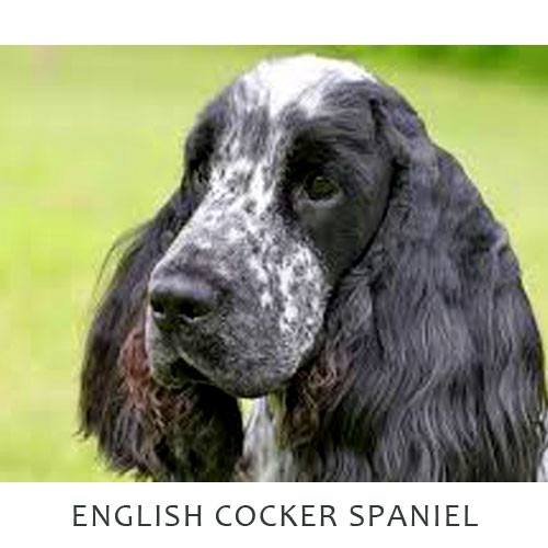 Cocker Spaniel English
