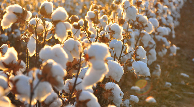 The History of Cotton