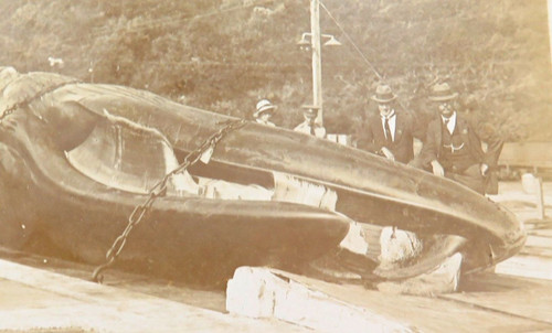 1917 rare real photo postcard of sperm whale (The Bluff, Durban, South Africa)