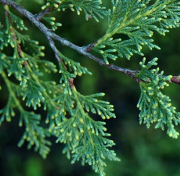 Cypress (Australian Blue) | ESSENTIAL OIL