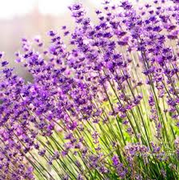 Lavender (Bulgarian) | ESSENTIAL OIL