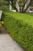 Wintergreen Boxwood Hedge