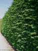 Leyland Cypress Trimmed Hedge