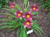 Purple De Oro Daylily Flowers