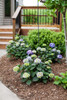 Small Endless Summer Bloomstruck Hydrangea Bushes Blooming