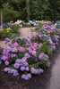 Endless Summer Bloomstruck Hydrangea Shrubs Covered in Blooms
