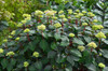 Early Endless Summer Bloomstruck Hydrangea Flower Buds