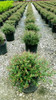 Field of Bordeaux Dwarf Yaupon Holly