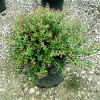 Bordeaux Dwarf Yaupon Holly Shrub