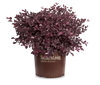 Purple Daydream Loropetalum in Branded Pot