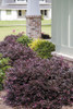 Purple Diamond Loropetalum Landscaping Shrubs