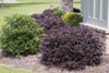Purple Diamond Loropetalum Shrub