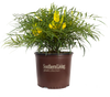 Soft Caress Mahonia in Branded Pot