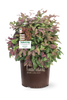 Blush Pink Nandina Shrub in Pot