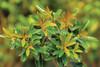 Bronze Beauty Cleyera Foliage