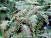 Thelypteris kunthii Leaves