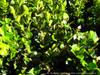Japanese Boxwood Leaves
