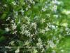 Trachelospermum asiaticum Flowers