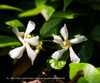 Asiatic Jasmine Blooms Close Up