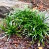 Dwarf Mondo Grass Cropped